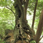 巨岩を抱え込むようにしっかり根を張った樫の木