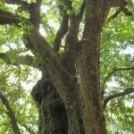 樹齢は定かではありませんが、少なくとも300年以上は経ってます