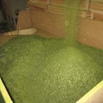 製茶工場で、仕上がったお茶