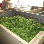 製茶工場に届けられた生の茶葉