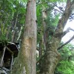 2本の大樹