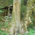 双子の大樹